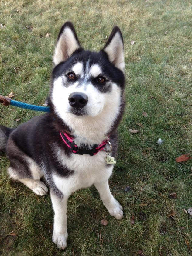Adopt Ayiana On Husky Siberian Husky Dog Siberian Husky Rescue