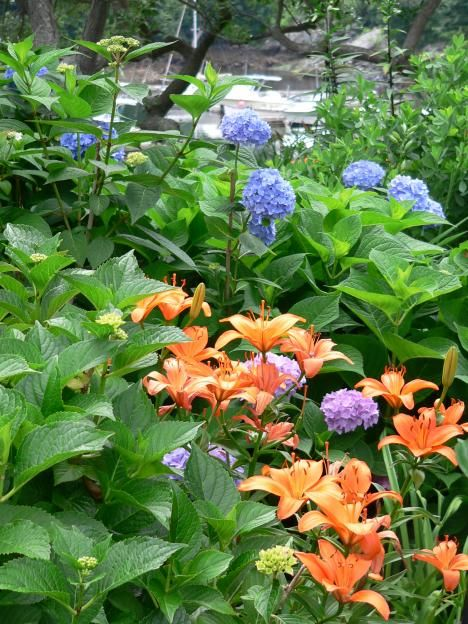 hydrangeas and orange day lilies  great combination