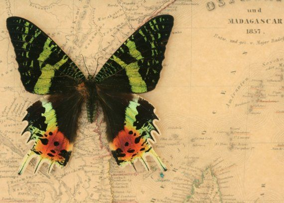Old Map of Madagascar with Sunset Moth
