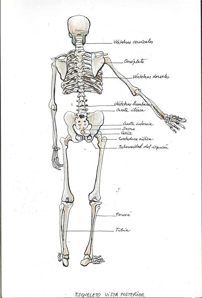 Osteología. Esqueleto trasera. Dibujo Juan Azpeitia | Cuaderno 1º ...