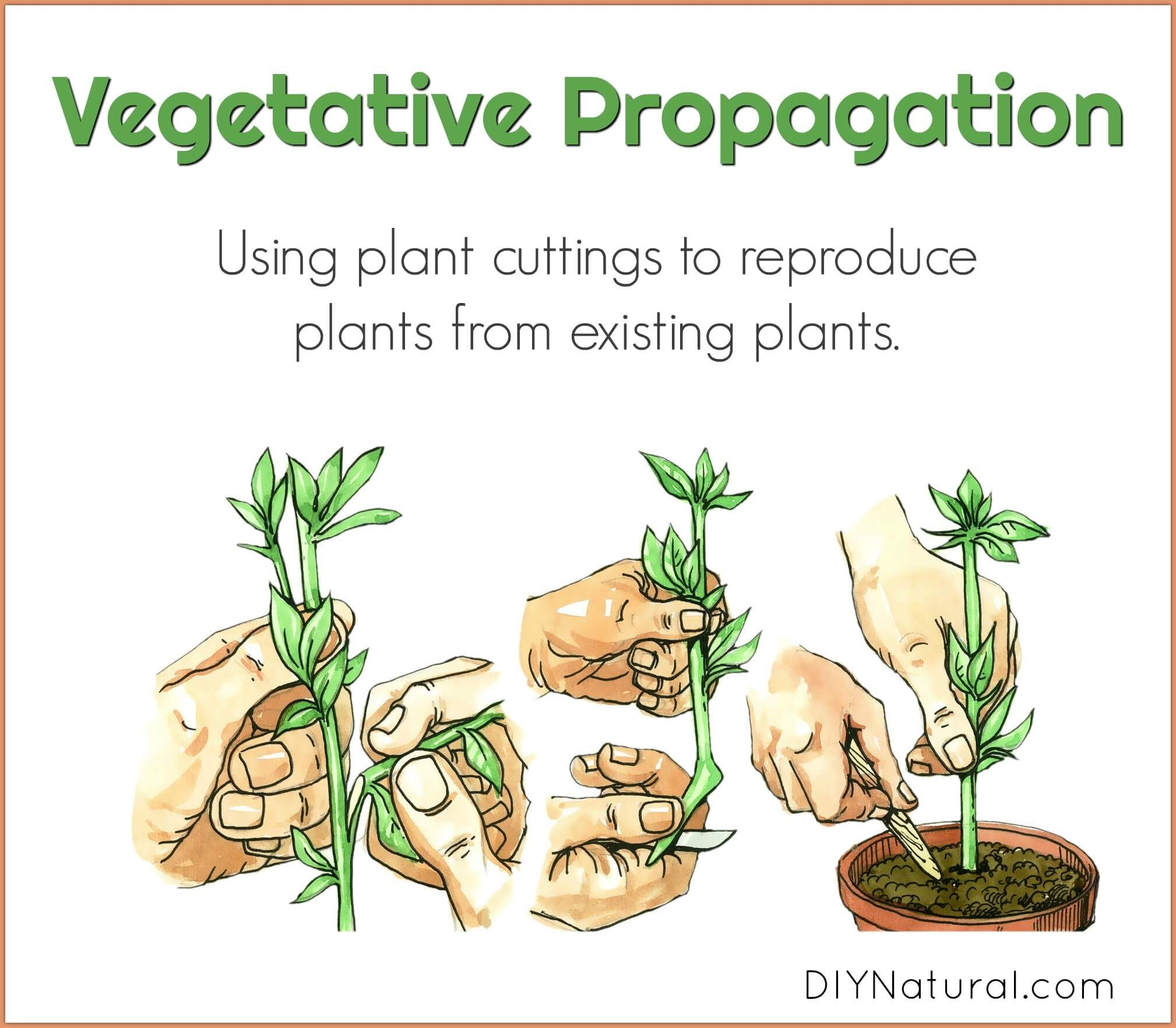 Vegetative Propagation Using Plant Cuttings To Reproduce