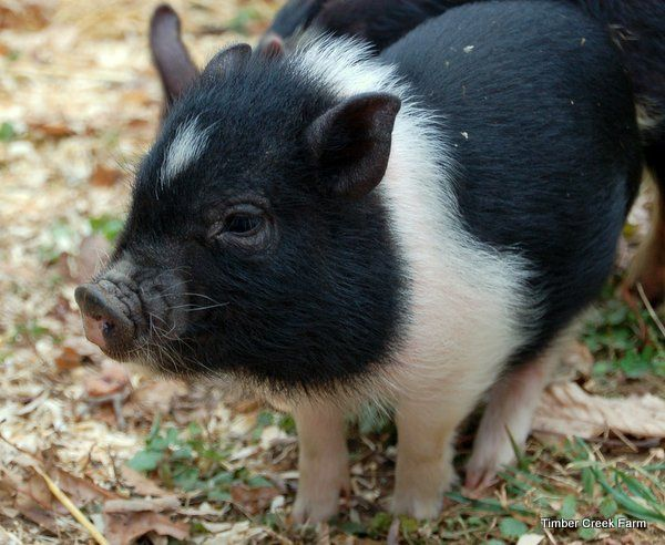 Miles The Mini Pot Belly Pig From Timber Creek Farm