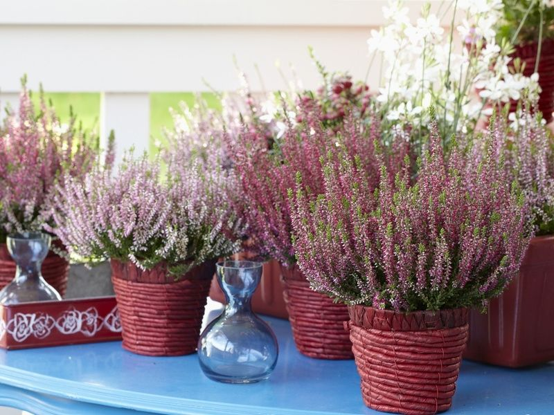 Wrzosy W Doniczkach Fot Flower Council Holland Kwiaty