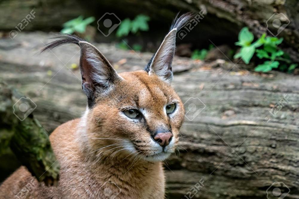 Portrait desert cats Caracal (Caracal caracal) or African