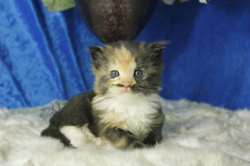 Honey Bear Black Calico Solid Female Ragdoll Kitten Munchkin Cat Ragdoll Kitten Kitten
