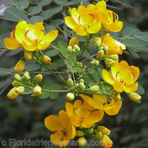 Florida Flowering Trees Identification Senna bicapsularis