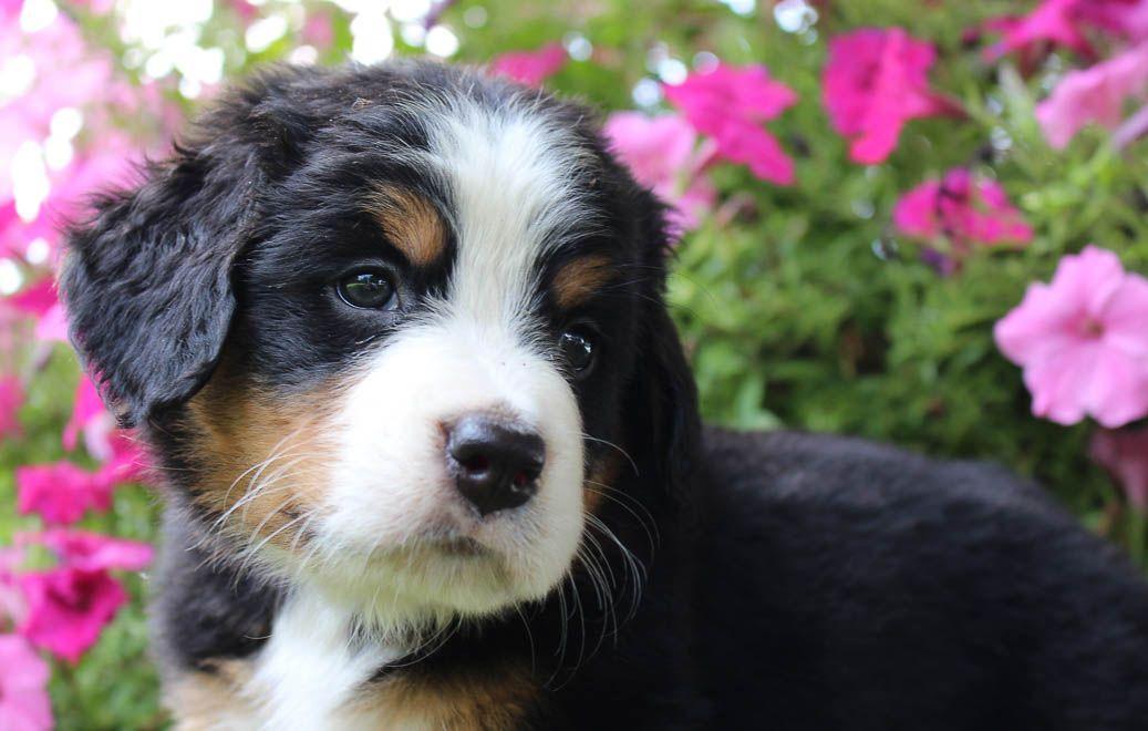 Bernese mountain dog for sale in harlan indiana bernese