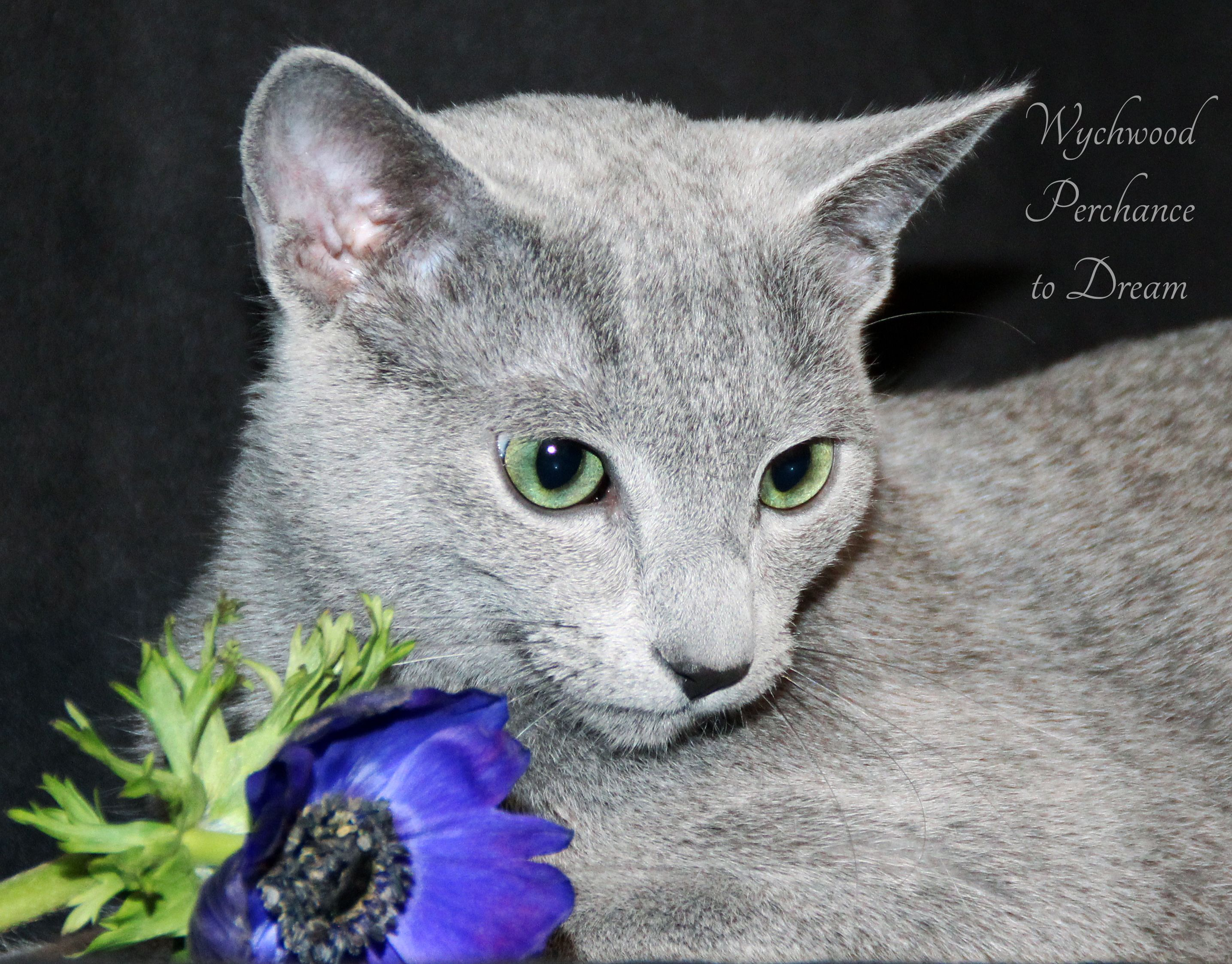 Russian Blue cats are gentle and soft by nature and Dreamy proves