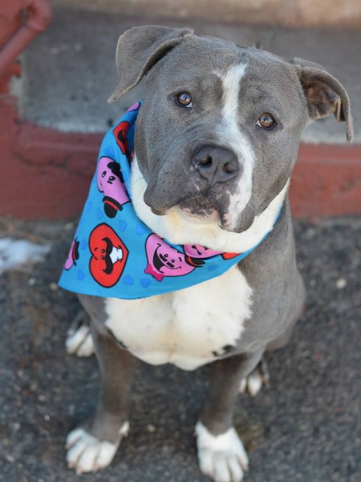 SAFE - 02/03/15 (by All Breed Rescue, Vermont) --- Brooklyn Center LINUS - A1026364 MALE, GRAY / WHITE, STAFFORDSHIRE MIX, 2 yrs STRAY - STRAY WAIT, NO HOLD Reason STRAY Intake condition EXAM REQ Intake Date 01/26/2015 https://www.facebook.com/photo.php?fbid=954655217880691