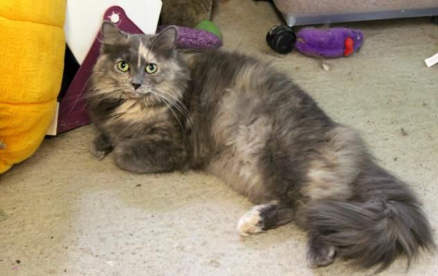 Adopt Blossom On With Images Fur Kids Long Haired Cats Pet