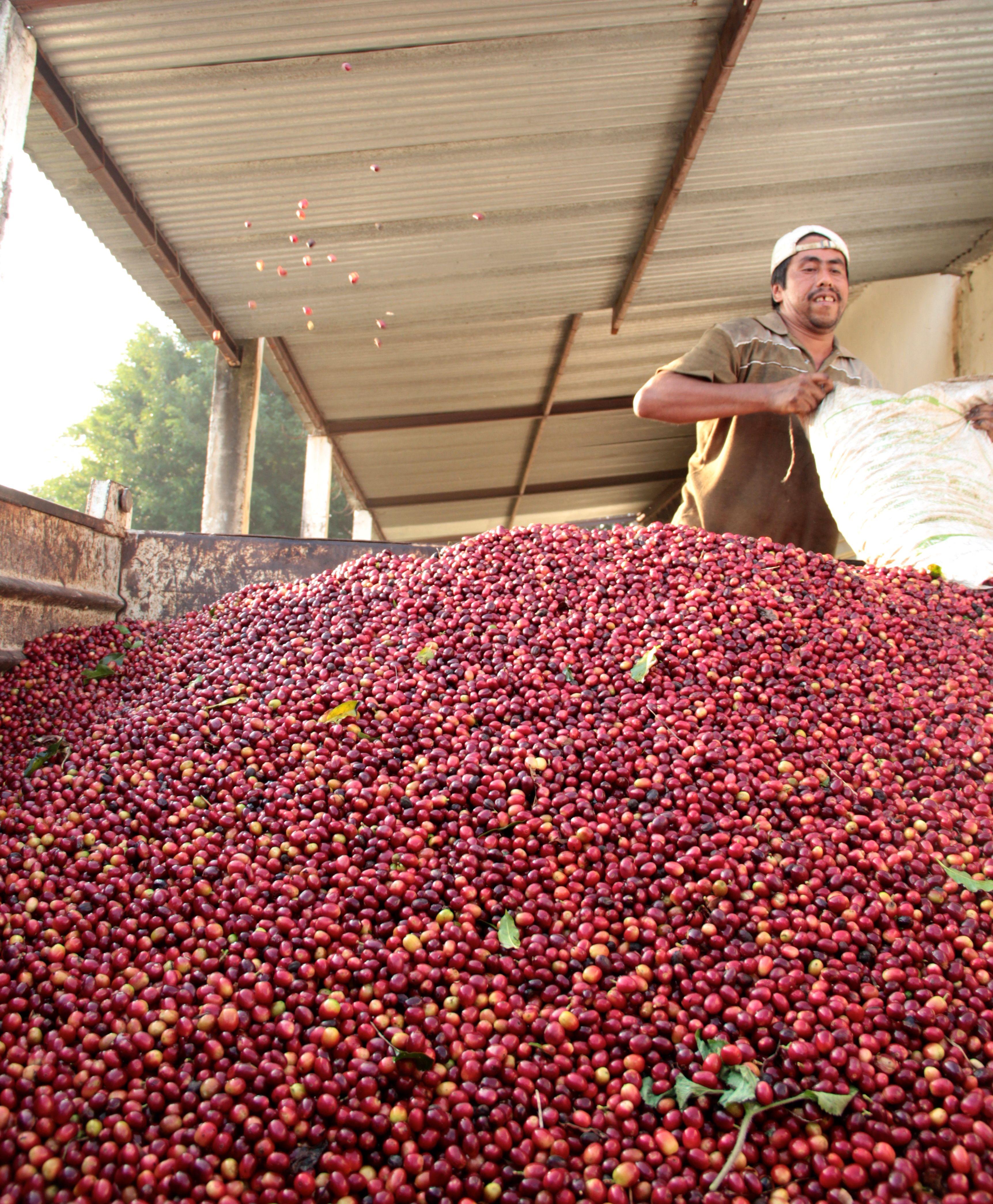 Coffee berries. Cafe maduro: Es importante cortar SOLAMENTE las cerezas de café maduras, para asegurar el sabor de los azúcares en el grano. Al cafeto se le cosecha el fruto maduro una vez al año en invierno con rendimientos de 12 toneladas de fruto maduro por hectárea, equivalentes a casi 2000 kg de cafe tostado.