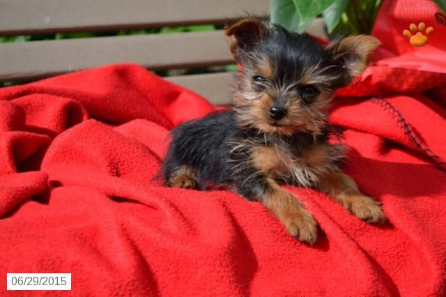 Yorkshire Terrier Puppy For Sale In Ohio Buckeyepuppies With Images Yorkshire Terrier Puppies Yorkshire Terrier Puppies