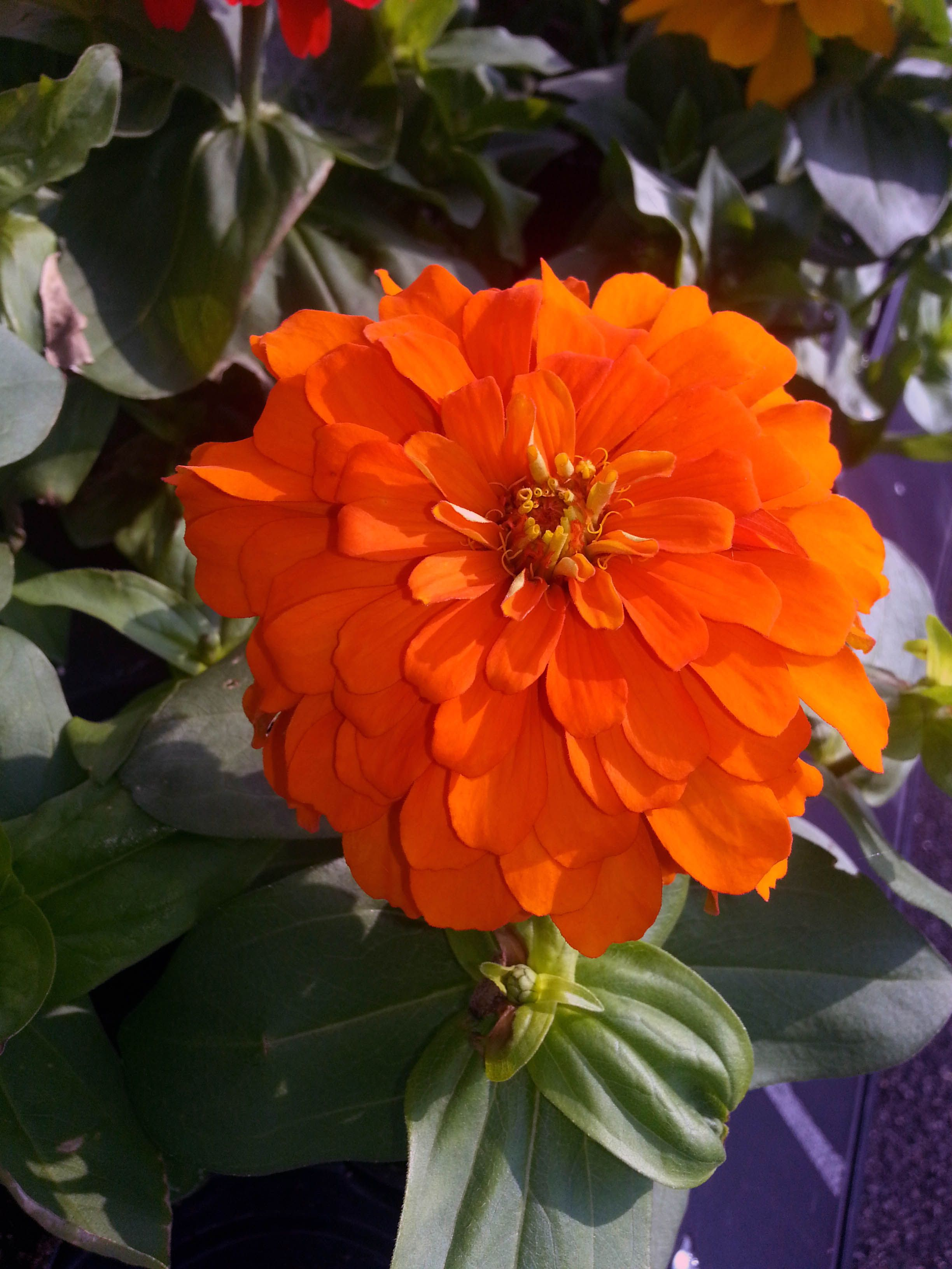 #Zinnia From Stauffers Of Kissel Hill #Garden Centers. Find A Location Near  You