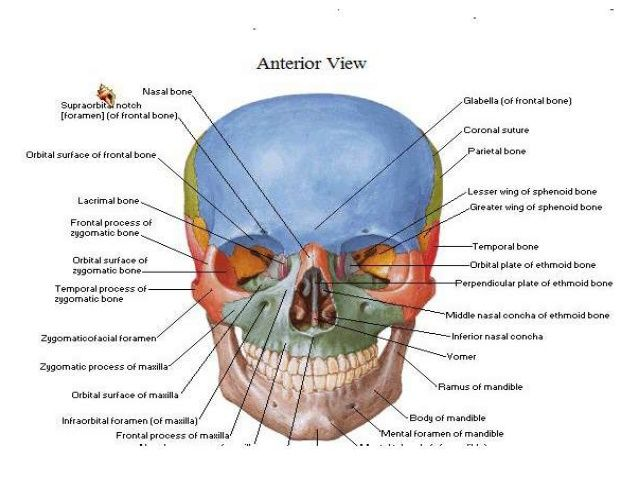 Glabella Of Frontal Diagram Trusted Wiring Diagram