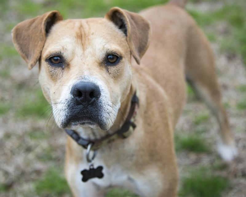 Adopt chester on petfinder pitbull terrier dog love