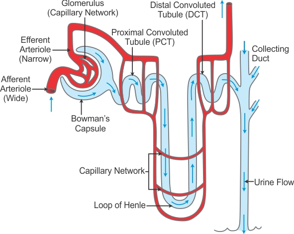 Explain The Sturucture Of Nephron With Diagram Biology Topperlearning Com Biology Diagrams Biology Notes Biology