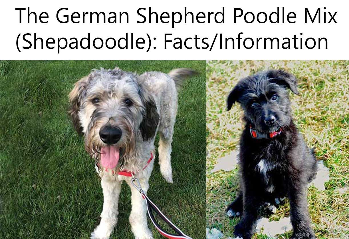 The German Shepherd Poodle Mix Shepadoodle Facts Information