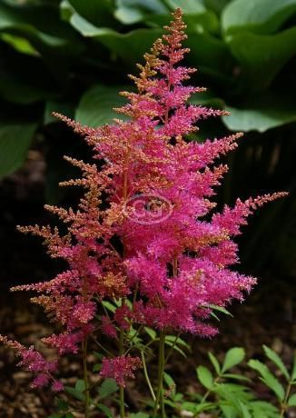 False Spirea Pink 10 Bare Root Plants Flower Landscape Plants Spirea