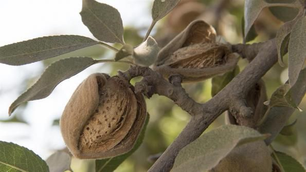 California almonds have positive impacts on greenhouse gas reduction