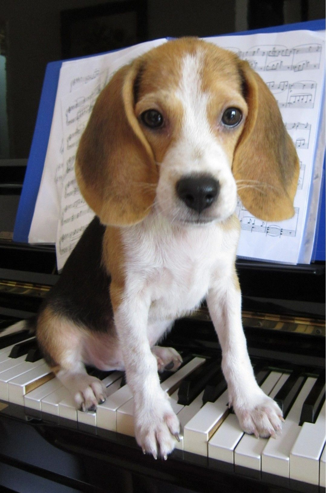 Playing The Piano Beagle Puppy Baby Dogs Cute Beagles