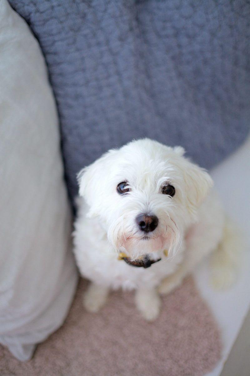 Coton De Tulear Uusi Kuu Coton De Tulear Animals Dogs