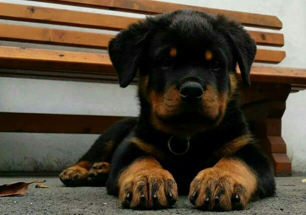 Rottweiler Puppy With Images Puppies Rottweiler Puppies Big Dogs