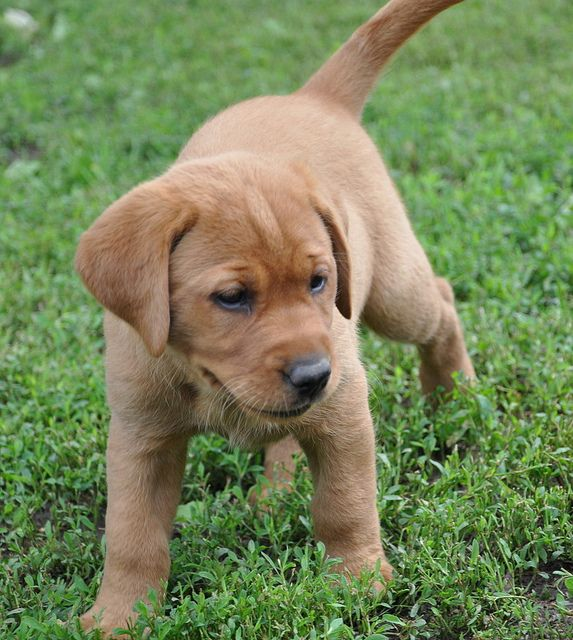 Red S Fox Red Lab Puppy S Red Lab Puppies Yellow Lab Puppies
