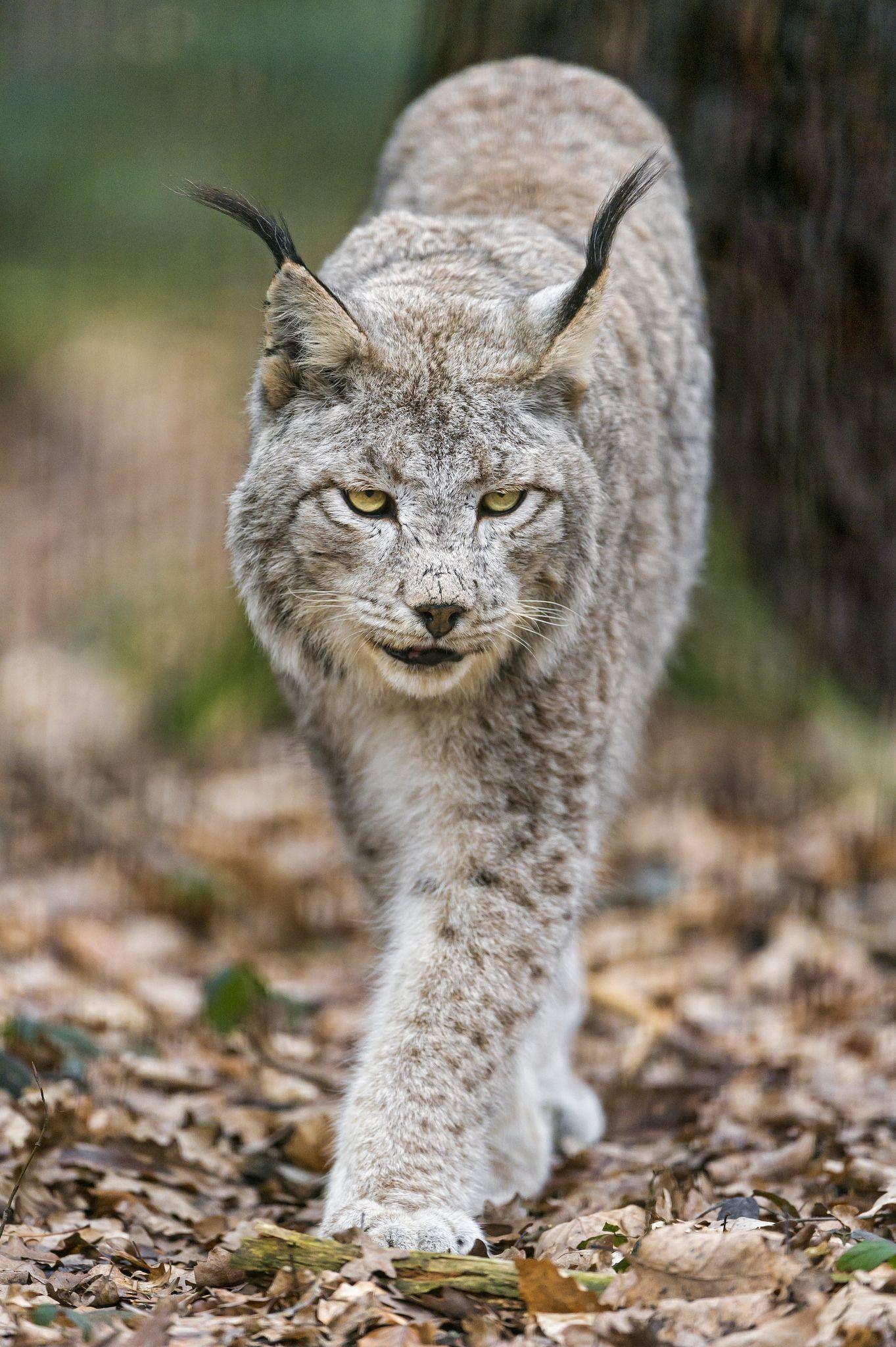 Canadian Lynx approaching