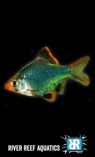 Green Tiger Barb Puntius Tetrazona Fish Pet Tropical Fish Green