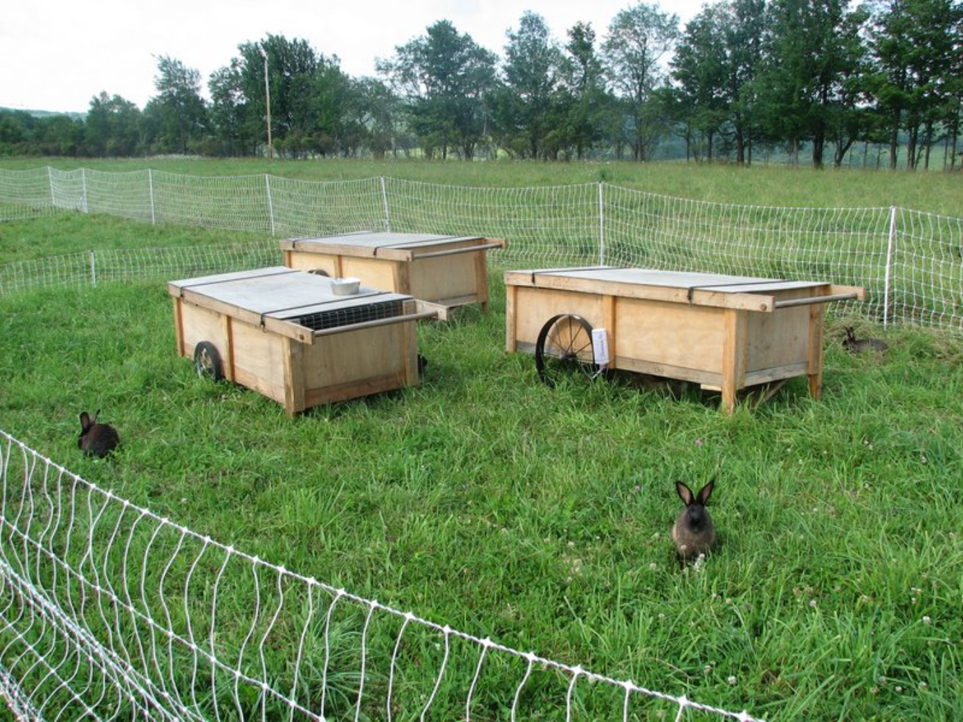rabbits on pasture, this is kind of neat a colony with an