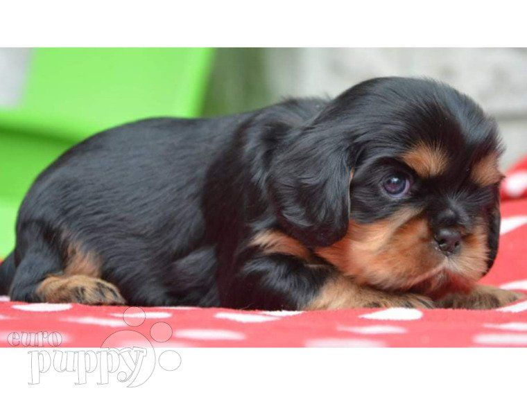 Buster Cavalier King Charles Spaniel Puppy For Sale Euro Puppy In 2020 King Charles Cavalier Spaniel Puppy King Charles Spaniel Spaniel Puppies