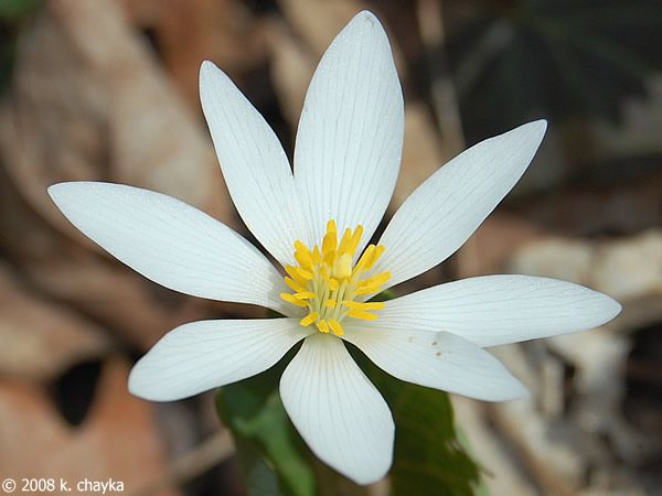 Photos and information about minnesota flora bloodroot white photos and information about minnesota flora bloodroot white flower 1 to 2 inches across with 8 or more petals and many yellow stamens mightylinksfo