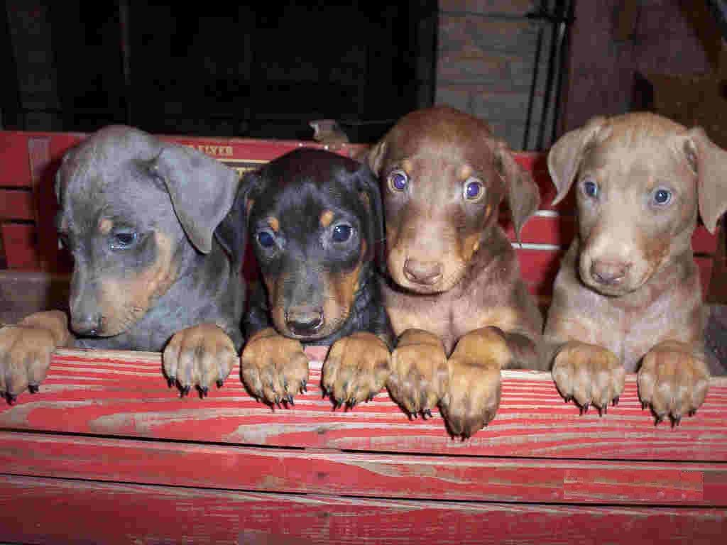 Doberman Pinscher Loyal And Fearless Blue Doberman Puppy