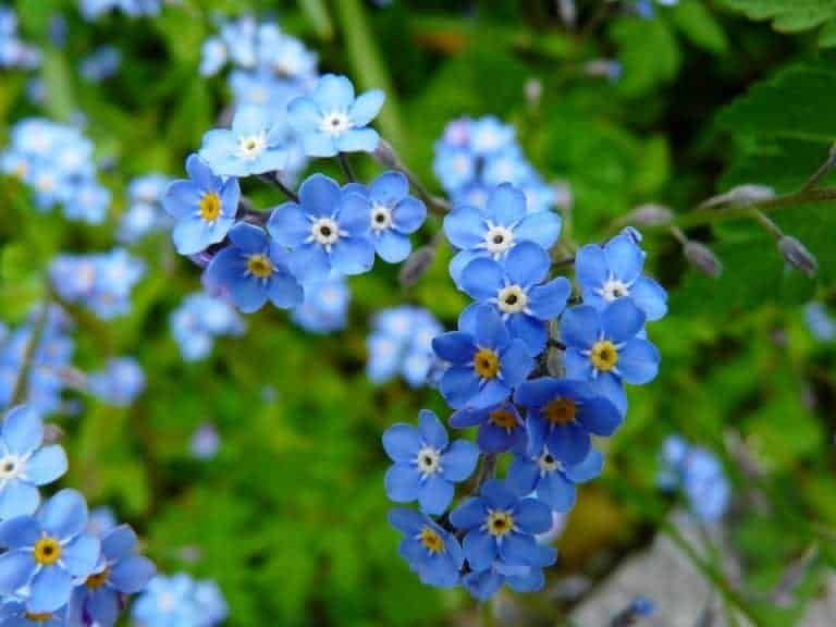 Forget Me Not In 2020 Types Of Blue Flowers Types Of Flowers Edible Wild Plants