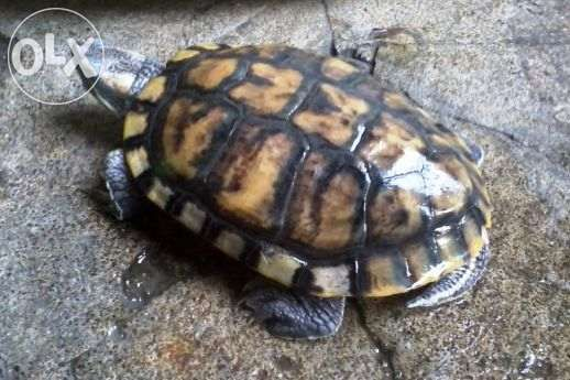 Pair Large Red Eared Turtle Slider For Sale Philippines Find