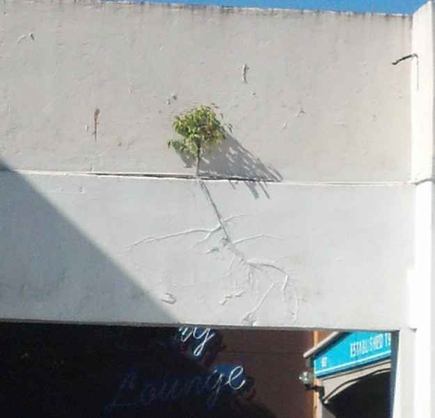 This Tree Decided To Grow On An Wall. Behind Paint.