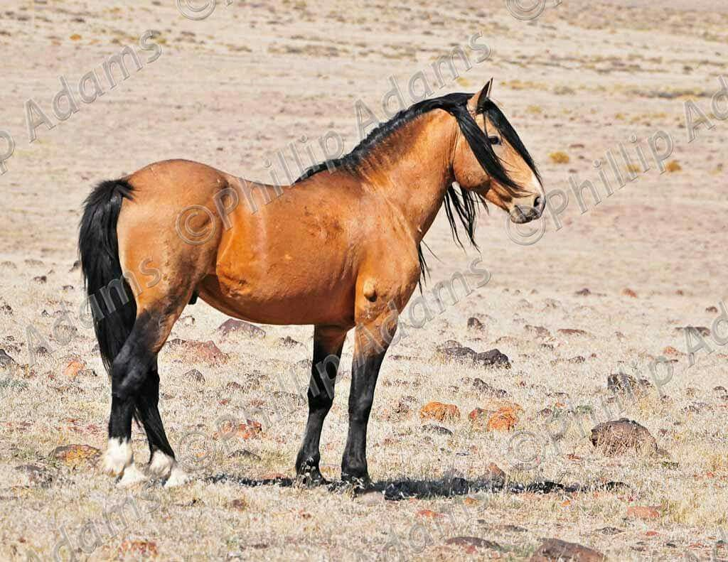 Goliath Virginia Range Mustang Stallion With Images
