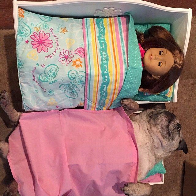 #pug #AmericanGirl #sleepover #trundlebed