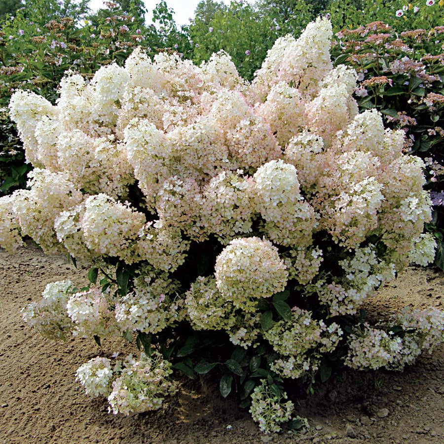Bobo Hydrangea Shrub A More Compact Shrub At 3 4 Ft Tall And Wide It S Covered All Summer With Large Whit Hardy Hydrangea Hydrangea Garden Bobo Hydrangea