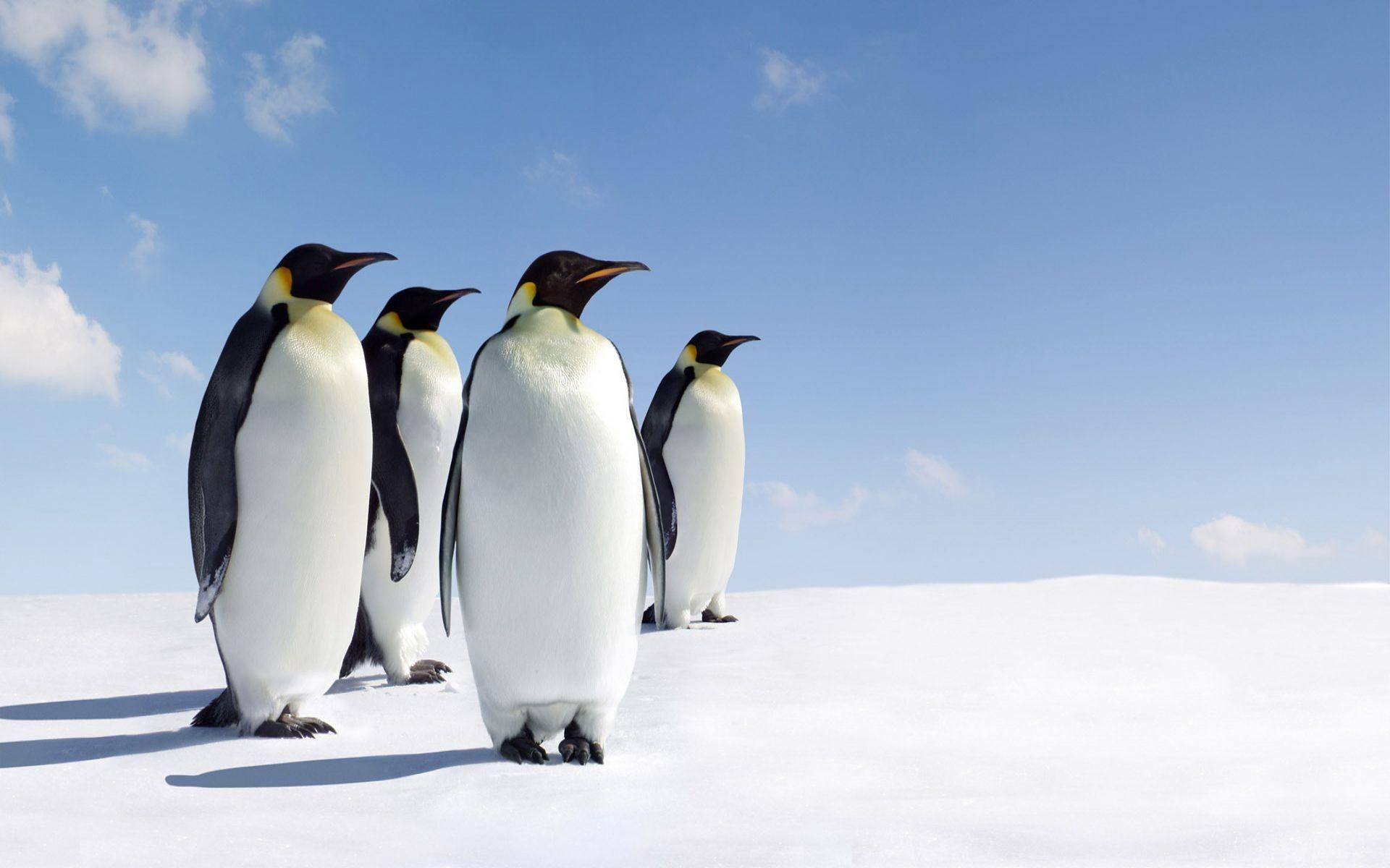 Pinguinos Especies En Peligro De Extinción Especies De Pinguinos Especies En Peligro