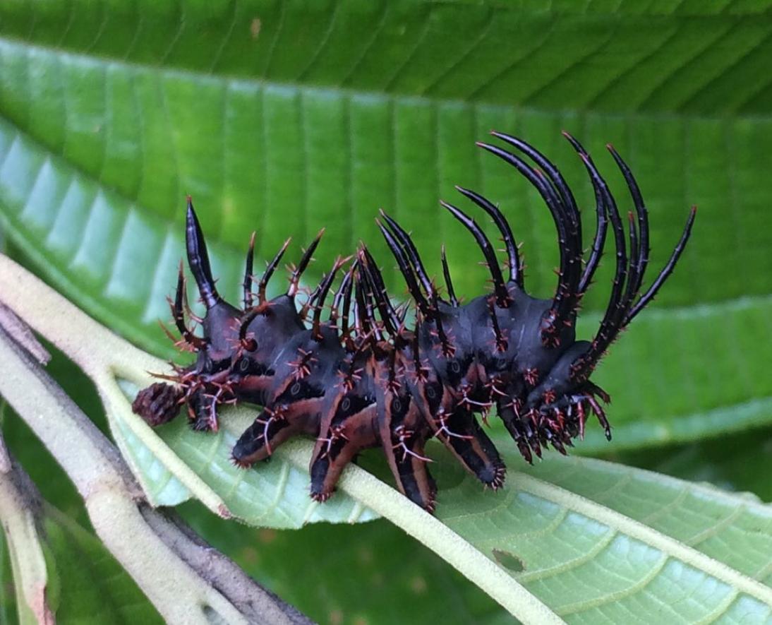 The badass caterpillar of the Citheronia moth! (Photo