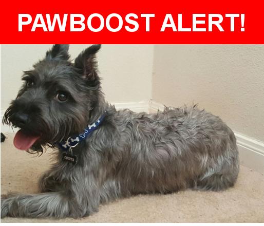 Please spread the word! Cosita was last seen in Katy, TX 77449.  Description: Miniature Schnauzer   Nearest Address: Albion Cresent Drive