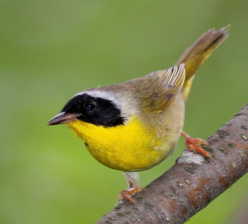 Common Yellowthroat (Geothlypis trichas)*   Birds ...