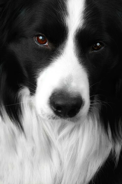 This Is The Most Beautiful Border Collie I Ve Ever Seen I M
