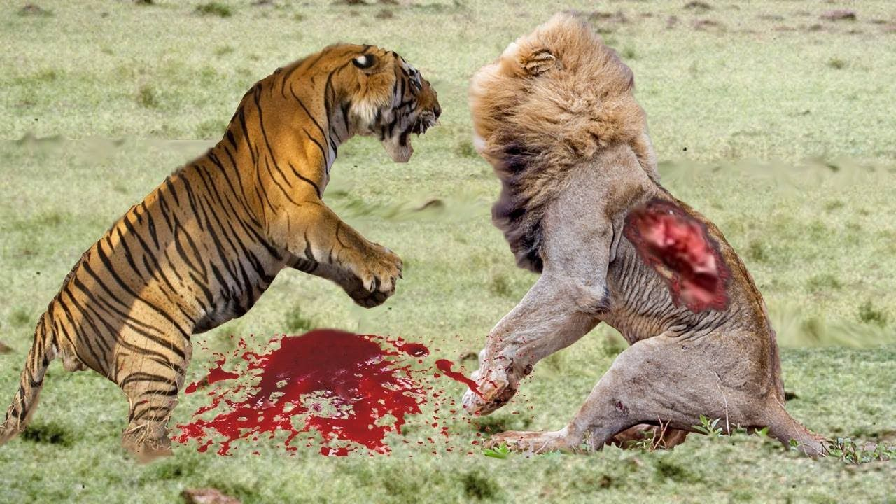 lion vs tiger deadly fight | lion vs tiger best attack compilations