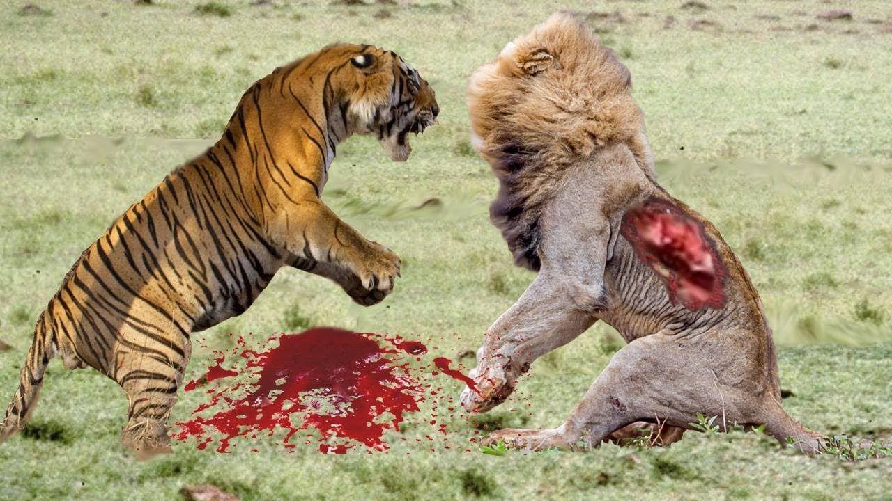 Lion vs Tiger Deadly Fight   Lion vs Tiger Best Attack ...