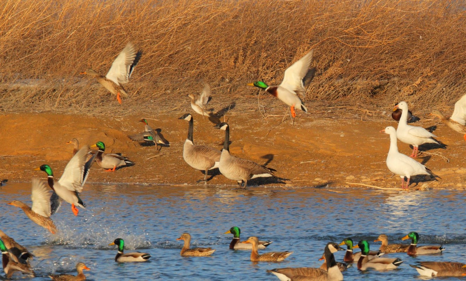 Mallards Snow Geese Green Winged Teal February Ia Snow Goose