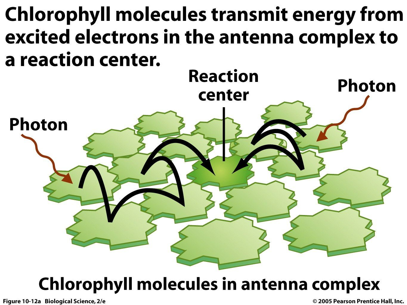 chlorophyll molecules Photosynthesis, Low lights, Survival