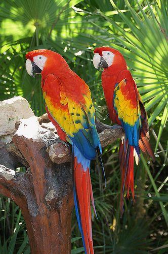 Guacamayas en Xcaret | Birds | 鸚鵡、鳥、動物