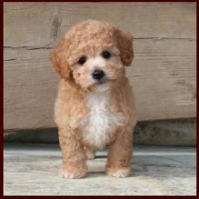 how to train a poochon puppy